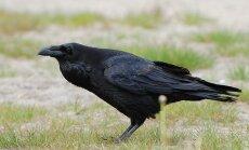 Hea küsimus: kuidas lind saab nii intelligentne olla, kui tema aju on nii väike?