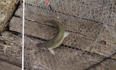 Haruldane kala võib Norrast imporditava lõhe peagi välja vahetada
