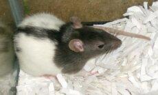Ühe roti lugu: Vapper Puru — täisväärtuslik rotielu kolmel käpal