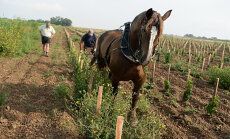 FOTOD: Viinamarjakasvatajad pöörduvad hobustega kündmise juurde tagasi