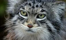 See armas kassi moodi loomake armastab üksindust ning näitab end inimestele üliharva