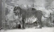 Kasahstanis tahetakse ellu äratada Tsaari-Venemaa poolt hukule määratud tiigriliik