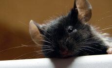 Pidu rottide moodi: nobedad käpad ja salapäraselt kadunud kaneelisaiad