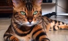 Bengali kass Thori lugu: Miks peaksid Sa hoolikalt mõtlema enne, kui sellise kassi võtad?