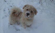 FOTO: Aita leida üles Kuusalu vallas kaduma läinud koer nimega Pätu!
