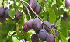 KASULIK TEADA: Kui kaua peaks elama üks ploomipuu?