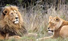 ВИДЕО: Безрассудный турист чуть не стал жертвой льва в Южной Африке