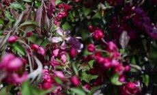 VIDEO: Iluõunapuud püüavad pilku punases rüüs