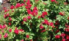 Flammentanz (Roniroos) Kõige levinum ja külmakindlam sort. Väga tugeva kasvuline. Erkpunased pooltäidetud kuni täidetud õied lõhnavad tugevalt.