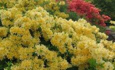 Riia botaanikaaias õitsevad rododendronid