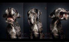 FOTOD: Humoorikad hetked agaratest koertest, kes hirmsal kombel maiust kätte saada püüavad