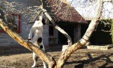 Noor koer rüüstab viljapuud