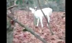 VIDEO: Haruldane leid! Tervisejooksul käinud mees kohtas metsas albiino hirve