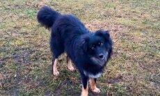 Haapsalus otsitakse Tallinnast sinna rännanud koera