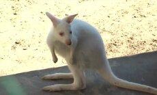 Jaroslavli loomaaias nägi ilmavalgust albiinokänguru