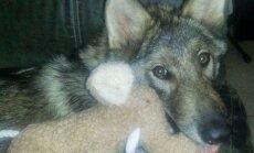 FOTOD: Mees, kes tasuta koerakutsika sai, avastas oma ehmatuseks peagi, et tegu on hoopis kellegi teisega