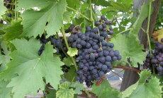Saare-Tõrvaaugu aiand tutvustab aiapäevadel viinamarjakasvatust