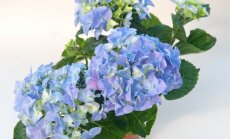 Suurelehine hortensia