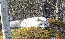 FOTOD: Kulna kandi metsades elavad hõbedased rebased