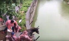 VIDEO: Sadistlikud loomaaiatöötajad lükkasid hirmunud eesli näljaste tiigrite lõugade vahele