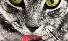 VIDEO: Testi, kas Sinu kass on parema- või vasakukäpaline