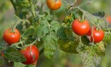 Karilased kimbutavad tomateid? Vaata, kuidas neist lahti saada