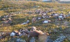 В Норвегии свыше 300 оленей погибли от удара молнии