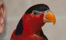 Papagoi Gosha