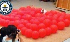 Vahva VIDEO: Vaata, kuidas koer püstitab õhupallide purustamises Guinnessi rekordi
