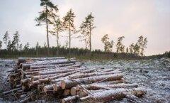 OTSEPILT ARUTELULT: Kas puidu põletamine on 21. sajandil taastuvenergeetika?