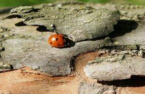 loodus, puukoor, putukas, lepatriinu