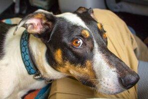 Hea huumor: Üle vindi keeratud 10 punkti sellest, mis sinu elus juhtuma hakkab, kui võtad endale koera
