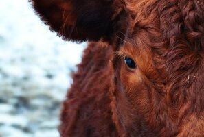 Miljonid ameeriklased usuvad, et kakaod toodavad pruunid lehmad