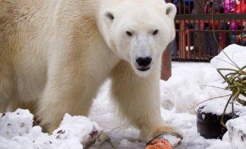 Tallinna loomaaia jääkarud peavad sünnipäeva