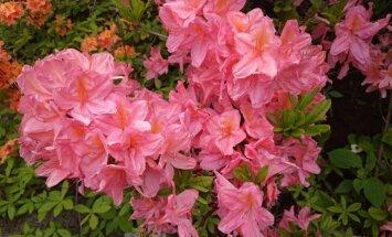 Rododendronite õitsemine