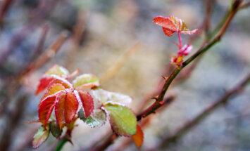 Roosikasvataja Mart Ojasalu teab roosidest kõike - kuidas on taimeriigi kuningannad seni vastu pidanud?