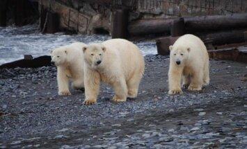 Vihased jääkarud otse ukse taga: Vene teadlased on polaarjaamas lõksus