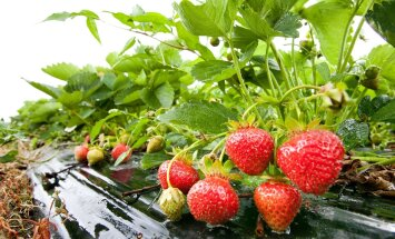 SÜGIS KÄES: Mida küll teha maasikaampliga?