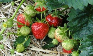 HÜVA NÕU: Kuidas luua hooldusvaba maasikapeenar