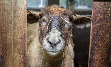 Kanepiga maiustanud lambad laamendasid külavahel, tungisid majja ja ajasid isegi magamistoa segamini
