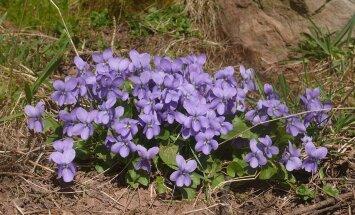 Joovastav loodus: mõnigi tuntud taim võlgneb oma toreda lõhna või maitse alkoholile