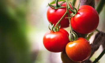 Pidage meeles, et aeg-ajalt tuleb tomateid kärpida
