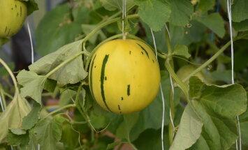 TEEMAPÄEVAD | Kuidas kasvatada Eestis viinamarja, arbuusi ja melonit