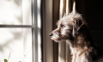 Emotsioonid möllavad ehk mis toimub koera peas, kui ta üksinda koju jätad? Eksperdid jagavad nippe, kuidas koera aidata