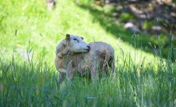В парках Рима следить за газонами будут коровы и овцы