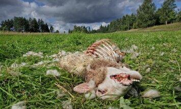 Huntide veretöö Hiiumaal: 45 korjust, 3 vigastatut ja 18 kadunut