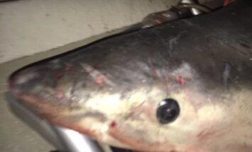 Šokeerivad kaadrid: Austraalias hüppas kalamehe paati mõrtsukhai, mees pääses imekombel eluga