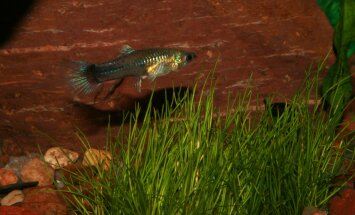GUPI – pisike vääriskivi sinu akvaariumis