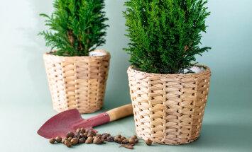 Jõulud ammu läbi! Mida võtta nüüd ette potijõulupuudega?