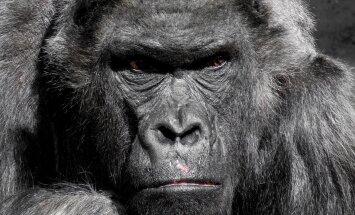 IUCN: Idagorillat ei ole meile enam kauaks jäänud